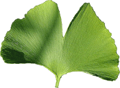 Gingko leaf large