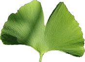 Gingko leaf large